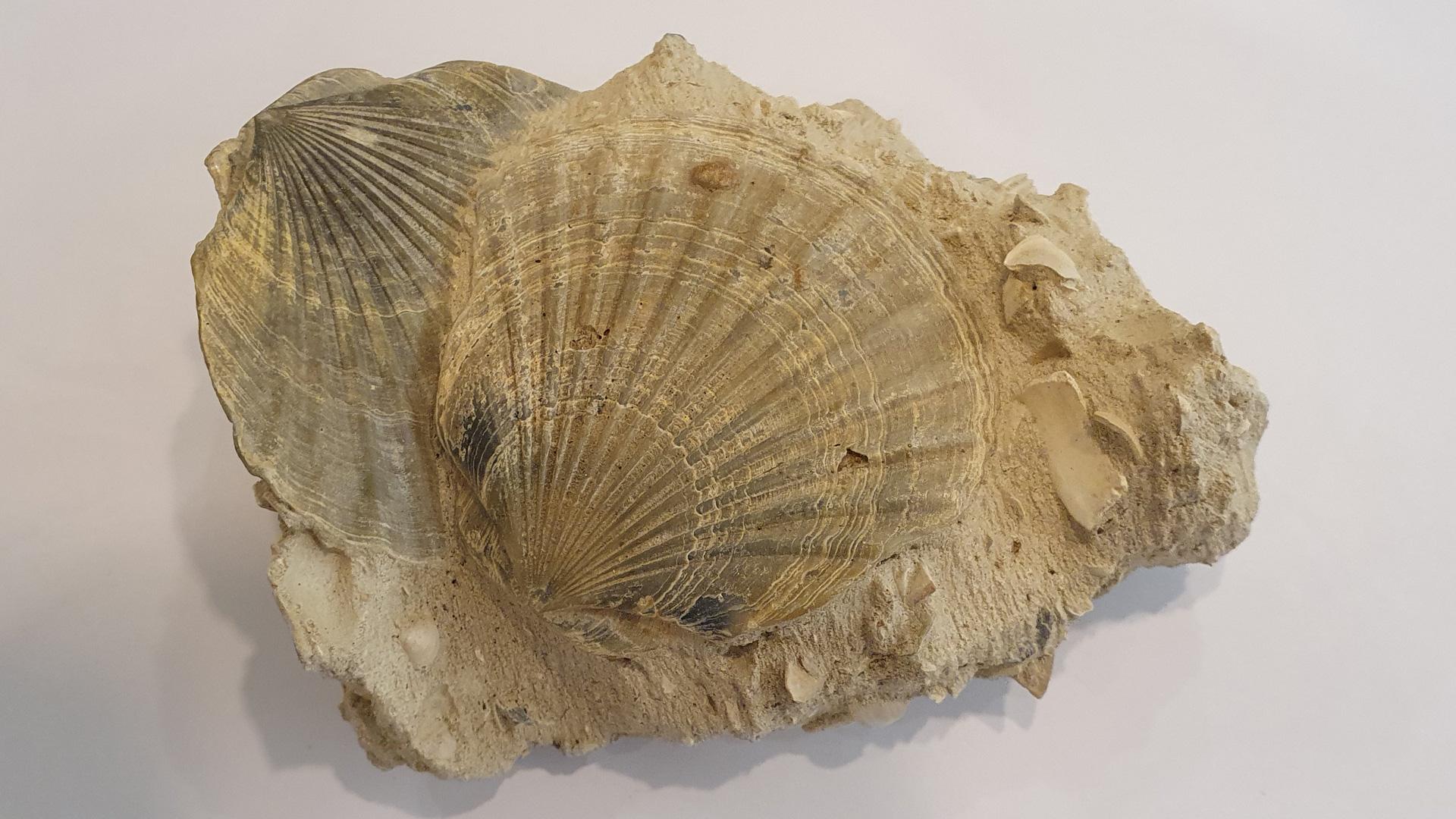 Muschel aus Frankreich
